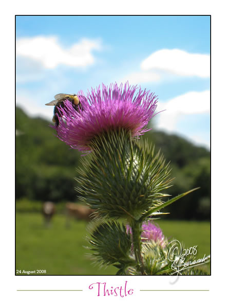 Thistle and Bumblebee at Alice Acres Farm