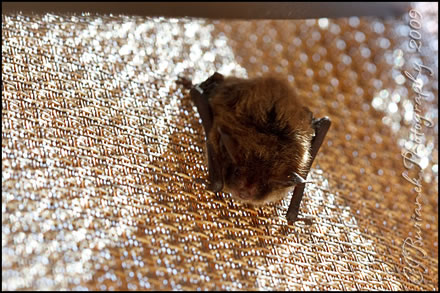 Little Brown Myotis Bat